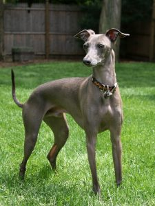 Adopting And Taking Care of Greyhounds